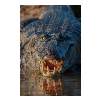 Caiman shows its teeth, Brazil Poster