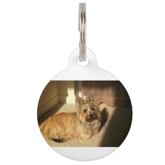 Cairn terrier laying pet ID tag