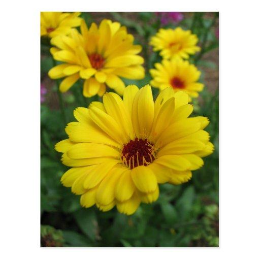 Calendula Blossoms Post Cards