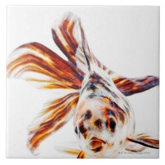 Calico Fantail Comet goldfish (Carassius Tile