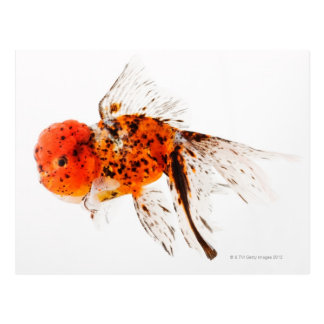 Calico lionhead goldfish (Carassius auratus). Postcard