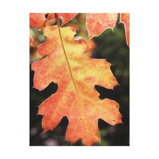 California, An autumn colored Oak leaf Canvas Print