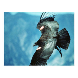 California condor postcard