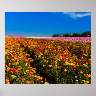 California Flower Fields 20X24 Poster