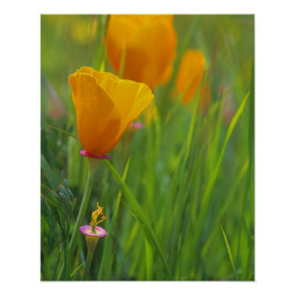 California golden poppies in a green field poster