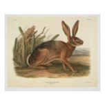 California Hare by Audubon (0177A) Poster