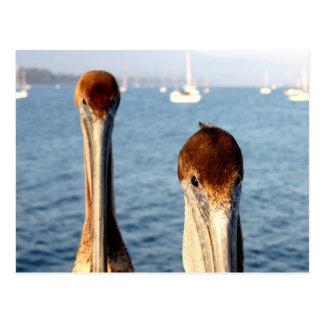 California Pelicans Postcard