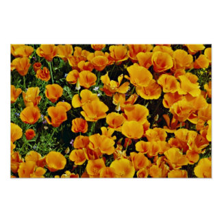 California poppies in bloom, Lancaster, California Posters