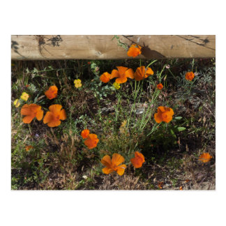 California Poppies Postcard