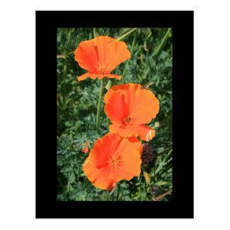 California Poppy Flowers Postcard
