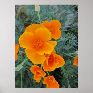 California Poppy State Flower Poster