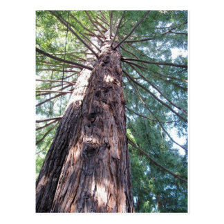 California Redwood Upshot Postcard