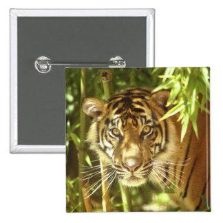 California, San Francisco Zoo, Sumatran Tiger 15 Cm Square Badge