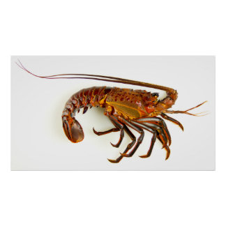 California Spiny Lobster Poster