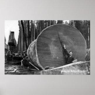 CaliforniaMan Posing by Cut Redwood Log Poster