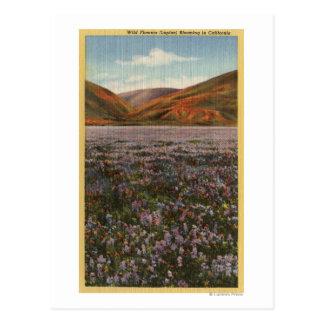 CaliforniaWild Lupine Flowers in Bloom Postcard