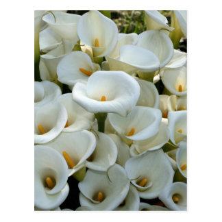 Calla Lily Plantation, Taiwan Postcard