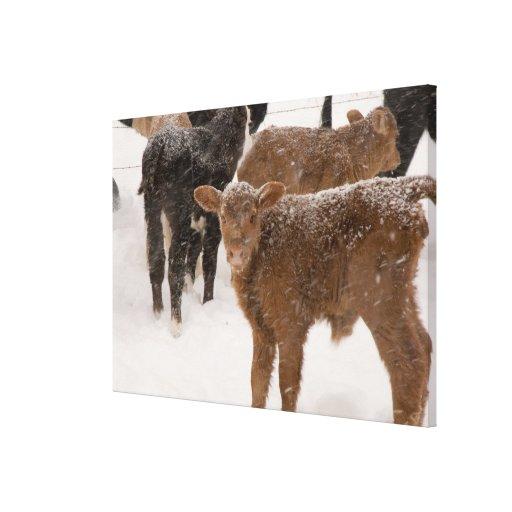 Calves in The Snow Canvas Print