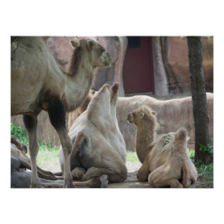 camel family fun poster