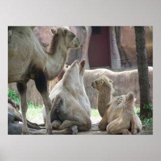 camel family fun poster
