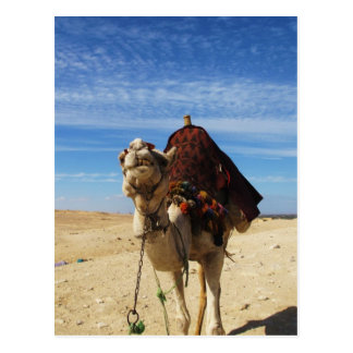 Camel in Egypt photograph Postcard