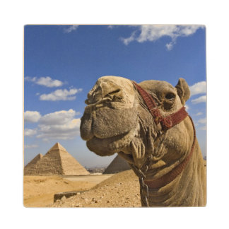 Camel in front of the pyramids of Giza, Egypt, Wood Coaster