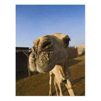 Camel market, Cairo, Egypt Postcard