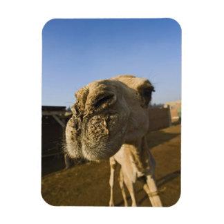 Camel market, Cairo, Egypt Rectangular Photo Magnet