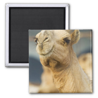 Camel Market near Cairo, Egypt Square Magnet