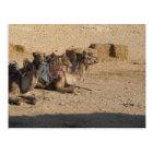 Camel Sitting - Customised Postcard