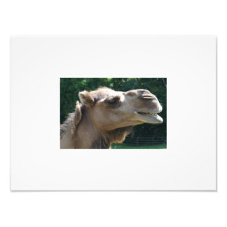 Camel smile photographic print