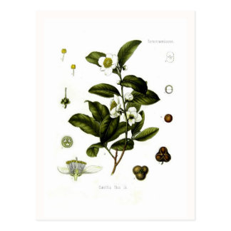 Camellia sinensis (tea) postcard