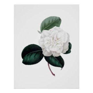 Camellia, white flower, botanical print
