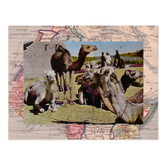 Camels for hire postcard