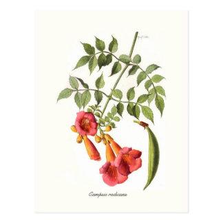 Campsis radicans,Trumpet Vine. Postcard
