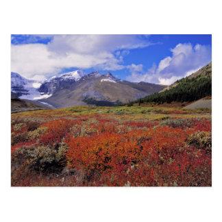 Canada, Alberta, Banff NP. Huckleberries bloom Postcard