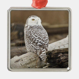 Canada, Boundary Bay, Snowy Owl Metal Ornament