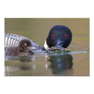 Canada, British Columbia,Common Loon, breeding Photographic Print