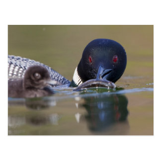 Canada, British Columbia,Common Loon, breeding Postcard