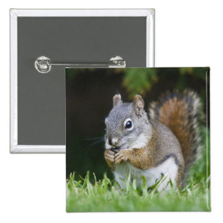 Canada, British Columbia, Red Squirrel Pine Button