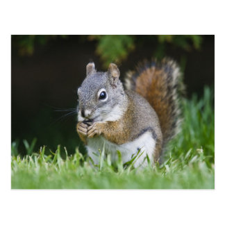 Canada, British Columbia, Red Squirrel Pine Postcard