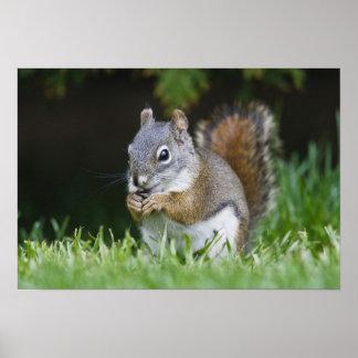 Canada, British Columbia, Red Squirrel Pine Poster