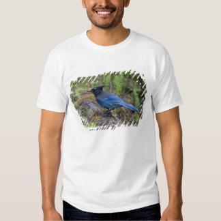 Canada:  British Columbia, Yoho NP, Stellar jay, Shirts