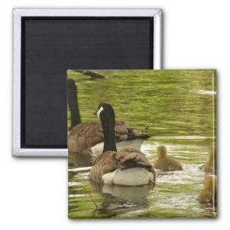 Canada Geese and Goslings Magnet