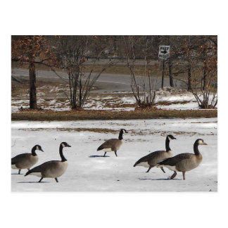 Canada Geese Keep Right Postcard