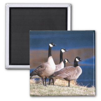 Canada geese magnet