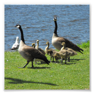 Canada Geese on the Grass by the Water Photo Print