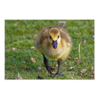 Canada Goose Gosling Walking Print Photo