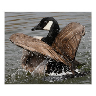 Canada Goose Strutting Poster