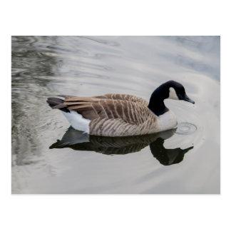 Canada Goose Swimming in vivid water Postcard